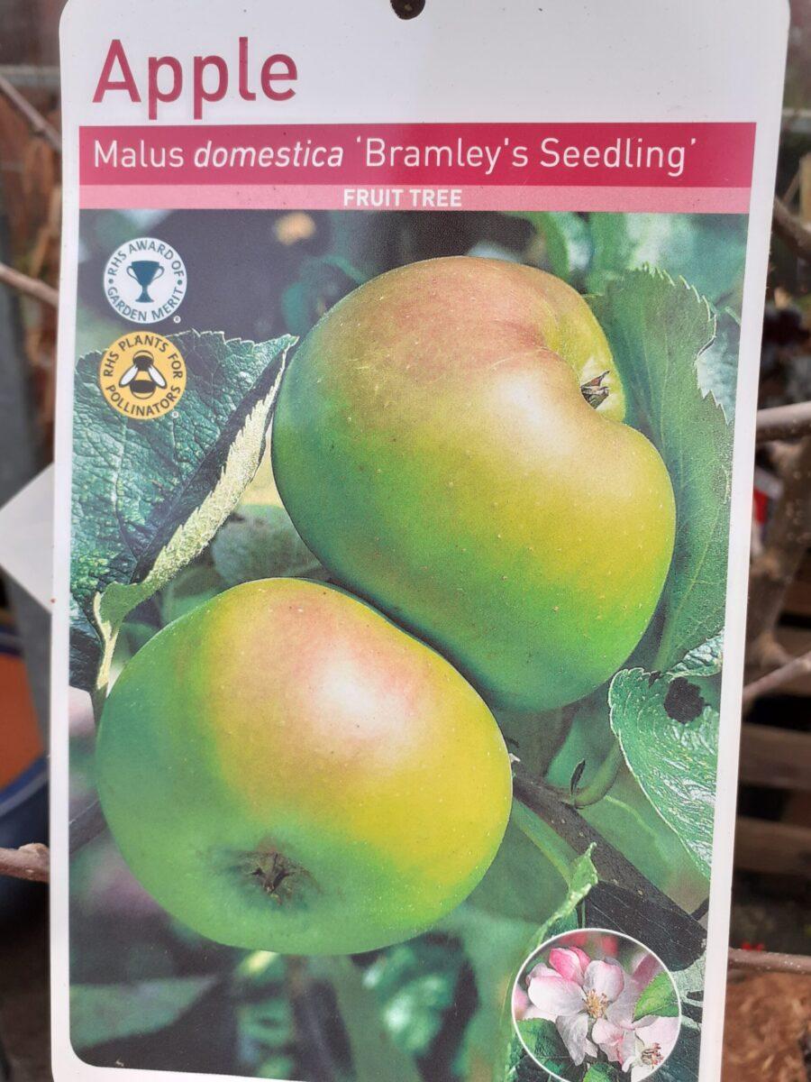 Bramley Seedling Apple Tree - Ravensworth Nurseries